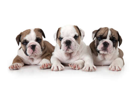 stocky: Portrait of three six weeks old English Bulldog puppies isolated on white background