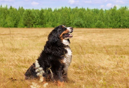 bernese mountain dog: Bernese Mountain Dog sitting in the middle of a green lawn on a sunny summer day