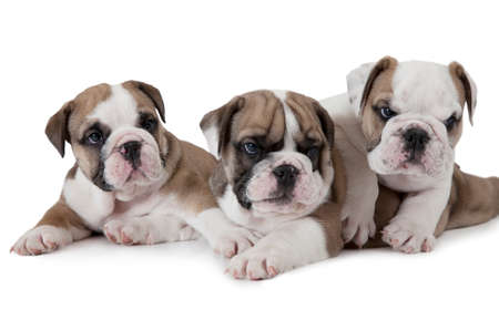 stocky: Portrait of three English Bulldog puppies (six weeks old) isolated on white background Stock Photo