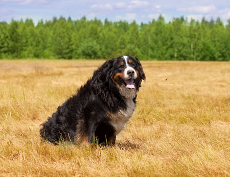 sennenhund: Bernese Mountain Dog (Berner Sennenhund) sitting in the middle of a green lawn on a sunny summer day Stock Photo