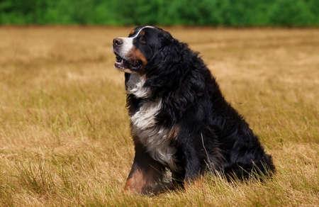 sennenhund: Bernese Mountain Dog (Berner Sennenhund) sitting on the green field Stock Photo