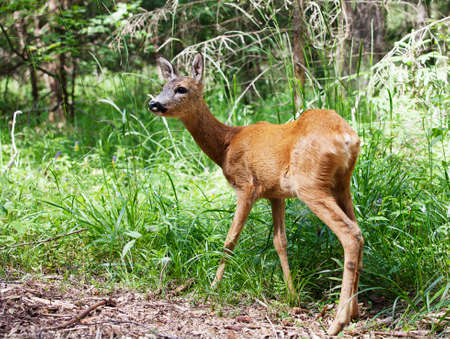 roe deer: Wild roe deer in the forest on a sunny summer day