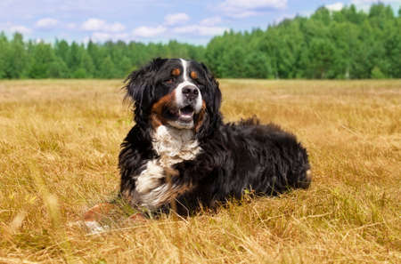 berner: Bernese Mountain Dog (Berner Sennenhund) lying in the middle of a green lawn on a sunny summer day Stock Photo