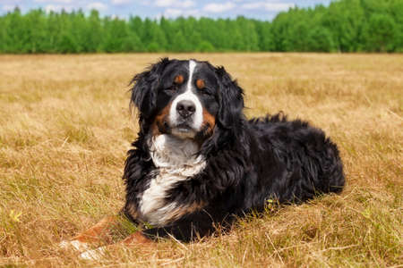berner: Purebred Bernese Mountain Dog (Berner Sennenhund) lying in the middle of a green lawn on a sunny summer day