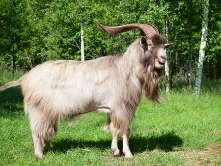 Horned goat standing on a green lawn at the edge of the forest on a sunny summer day