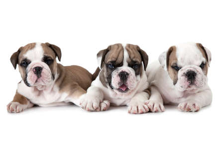 stocky: Three purebred six weeks old English Bulldog puppies isolated on white background Stock Photo