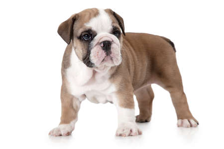 stocky: Purebred English Bulldog puppy standing in front of white background and looking forward Stock Photo