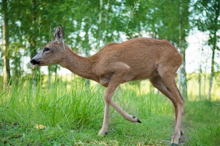 Wild roe deer walking in the woods on a sunny summer day Stock Photo