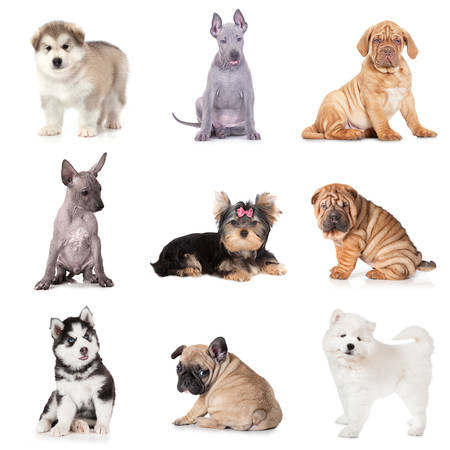 many babies: Group of puppy dogs of various breeds isolated on white background