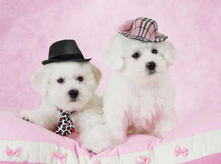 perros graciosos: Retrato de dos cachorros de Bichon Frise (dos meses de edad) en los sombreros