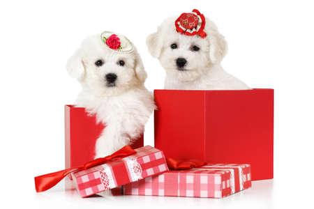 animalitos tiernos: Adorables cachorros de Bichon Frise en una caja de regalo aislados sobre fondo blanco Foto de archivo