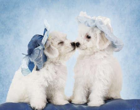 animalitos tiernos: Dos adorables cachorros de raza pura de Bichon Frise en sombreros delante de fondo azul