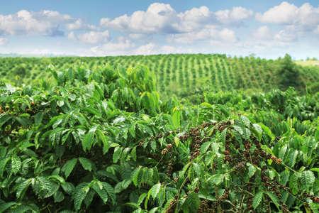 Koffieplantages in de hooglanden van Oost-Vietnam Stockfoto