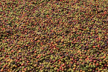 botany: Full frame photo of raw coffee beans drying in the sun