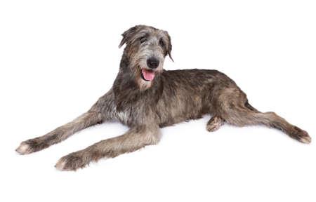 dog isolated: Irish wolfhound dog (two years old)  isolated on white background
