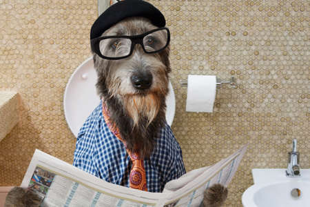 humor: Humorous picture of a Irish wolfhound dog dressed in a hat, glasses and shirt, sitting on the crapper reading the newspaper