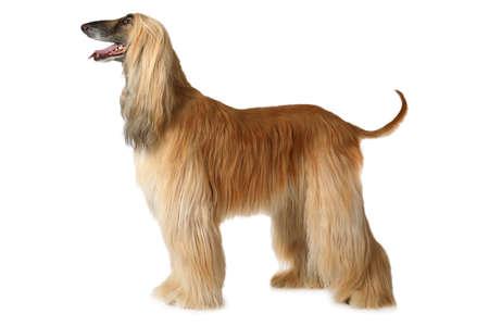 Purosangue Afghan hound dog in piedi in posizione di esposizione isolato su sfondo bianco