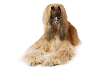 Thoroughbred dog Afghan hound lying in front of white background