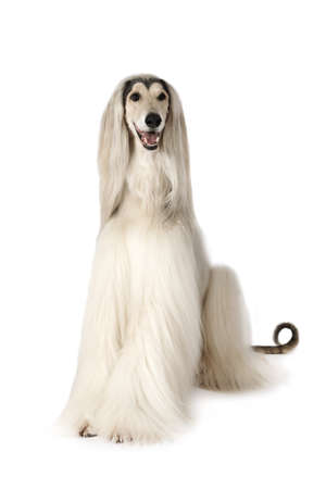 White Afghan hound dog (eight years old) sitting on white background