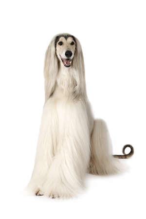 Witte Afghaanse hondenhond (acht jaar oud) die op witte achtergrond zit