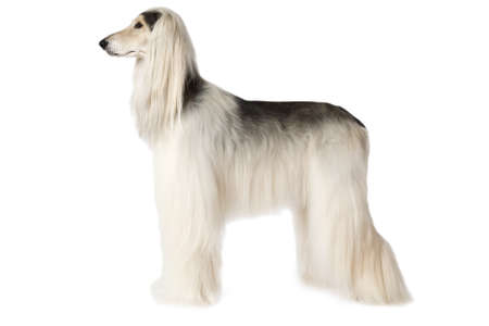 longhaired: White thoroughbred Afghan hound dog standing in show position isolated on white background