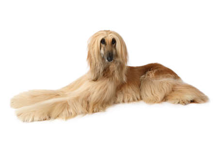 Thoroughbred dog Afghan hound  lying on a white background