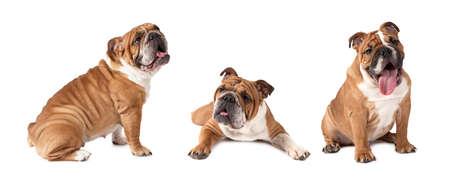 Photo collage of English Bulldog studio shot on white background
