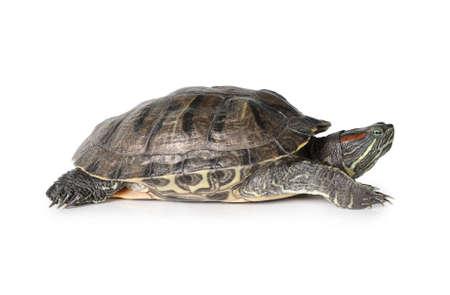 Studio shot of red-eared medium-sized aquatic turtle