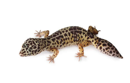 primal: The leopard gecko (Eublepharis) isolated on a white background