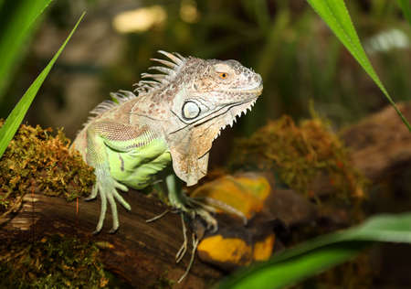 Portrait of large Green Iguana male on a branch in the jungles