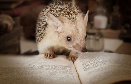 Small African hedgehog reading a book indoors