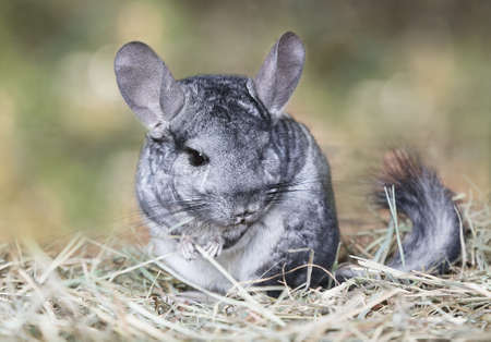 Wild grey chinchilla sitting on straw outdoors