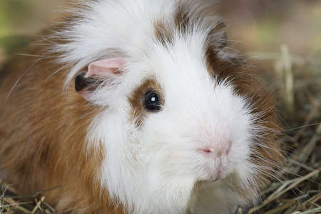 likable: Portrait of a domestic guinea pig closeup photo Stock Photo