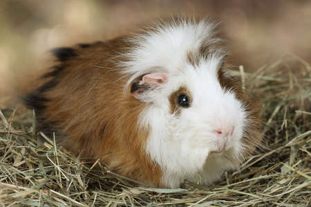likable: Portrait of a domestic guinea pig lying on a hay Stock Photo