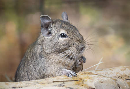 snag: Small degu put the paw on a snag and eating something in the woods