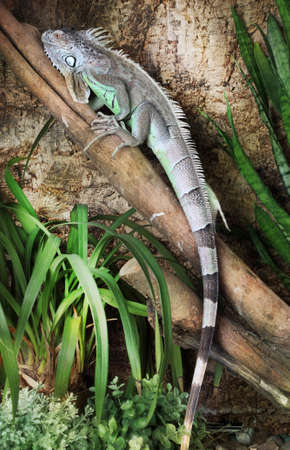 Large Green Iguana male sitting on a branch outdoors Stock Photo
