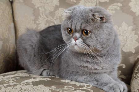 Scottish Fold Katze liegt auf der Couch. Tierportrait