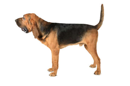 Studio shot of eighteen months old thoroughbred Bloodhound dog over white background Stock Photo
