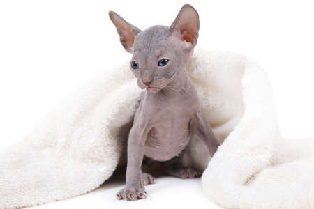 One month old Don Sphinx kitty covered by a white blanket over white background Stock Photo