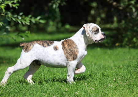 Beautiful American Bulldog (four months old) standing on the grass Stock Photo