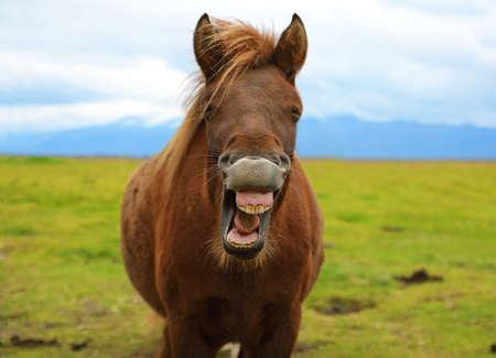 아이슬란드의 자연 풍경의 배경에 웃기는 웃어 말