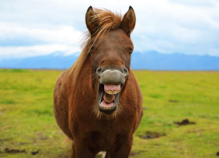 The funny grinning horse on the background of nature landscape of Iceland  Stock Photo