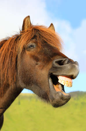 Portrait of funny grinning horse on the background of blue sky, Iceland