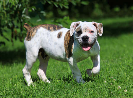 Beautiful American Bulldog puppy (four months old) standing  on the grass