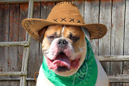 Portrait of American bulldog in cowboy hat and handkerchief outdoors