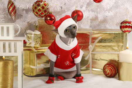 christmas pussy: Funny Don Sphinx cat as Santa Claus wears Christmas clothes sits on the carpet floor at a beautiful new year decorated tree Stock Photo