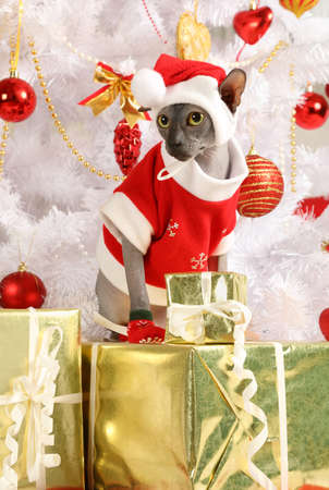 christmas pussy: Thoroughbred Don Sphinx cat dressed in a Christmas costume on the background of Christmas trees