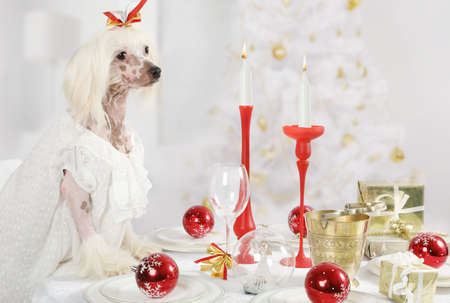 Hairless Chinese Crested dog sitting at the holiday table on the background of Christmas tree Stock Photo