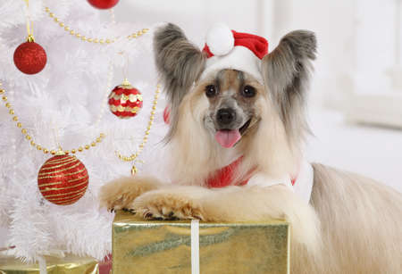 Lovely Chinese Crested dog dressed in a Christmas costume on the background of Christmas tree