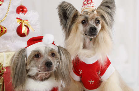 Portrait of two pretty Chinese Crested dogs dressed in a Christmas costumes on the background of Christmas tree